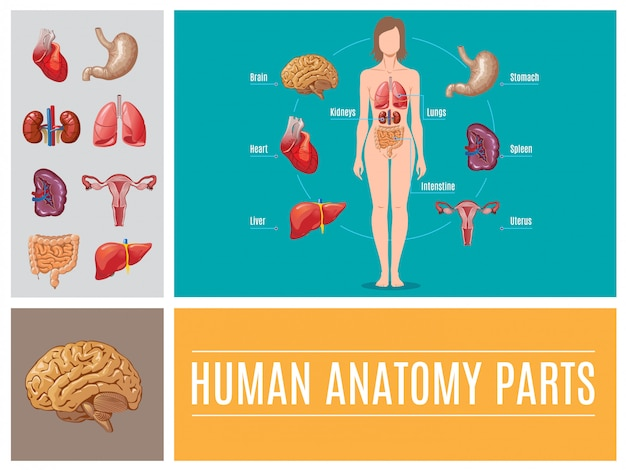 Composición de partes de anatomía humana de dibujos animados con cerebro hígado estómago intestino corazón bazo riñones pulmones sistema reproductor femenino