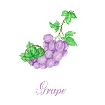 Composición de racimo de uvas acuarela dibujada a mano, deliciosas frutas de color verde y azul púrpura.