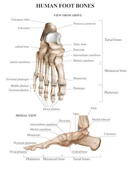 Composición realista de la anatomía de los huesos del pie con vistas frontales y laterales de la pisada humana con ilustración de leyendas de texto