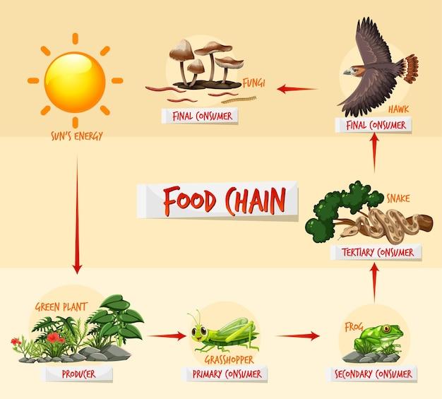 Concepto de diagrama de cadena alimentaria