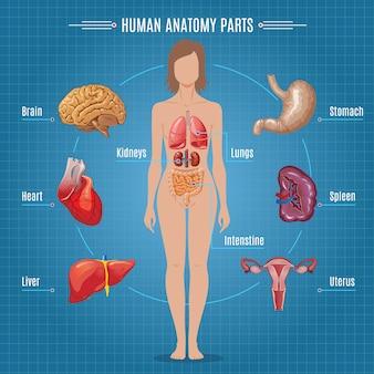 Concepto de infografía de piezas de anatomía humana