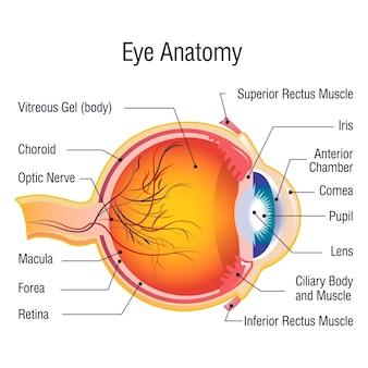 Concepto de información de anatomía del ojo, estilo de dibujos animados
