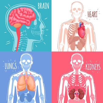 Concepto de órganos internos humanos