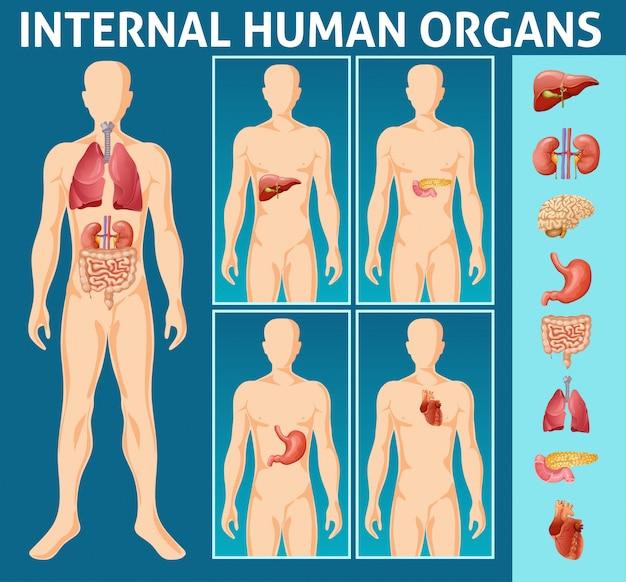 Concepto de partes internas del cuerpo humano de dibujos animados