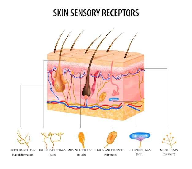 Concepto de receptores sensoriales de la piel con nervio y cabello plano