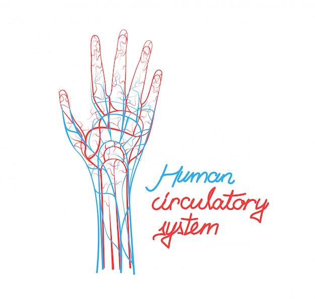 Concepto de sistema circulatorio humano, vasos sanguíneos de mano