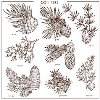 Coníferas naturales pequeñas ramas aisladas monocromo ilustraciones conjunto