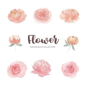 Conjunto de acuarela escalada rosa y peonía, ilustración de elementos aislados en blanco.