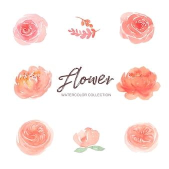 Conjunto de acuarela peonía rosa y escalada rosa pintura ilustración de elementos en blanco.