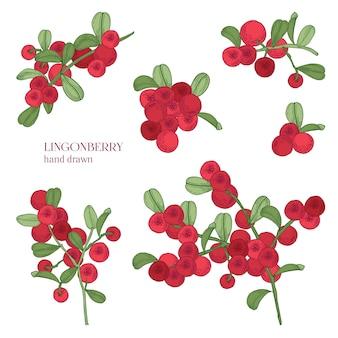 Conjunto de arándano rojo. detallado dibujado a mano ramas con bayas. coloridas ilustraciones dibujadas a mano.