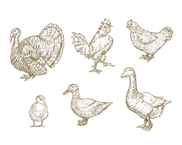 Conjunto de aves domésticas dibujadas a mano.