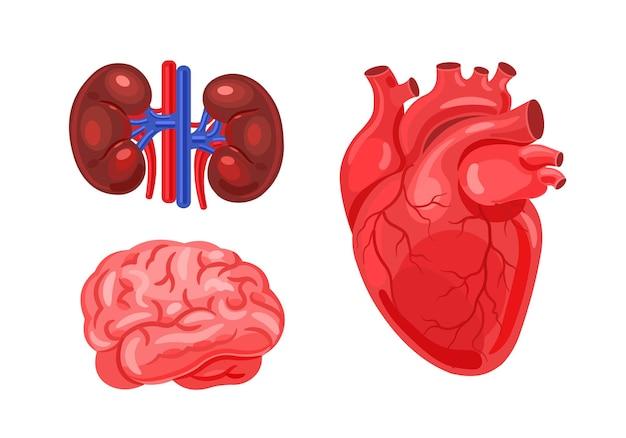Conjunto de cerebros de riñones humanos