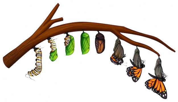 Un conjunto de ciclo de vida de las mariposas