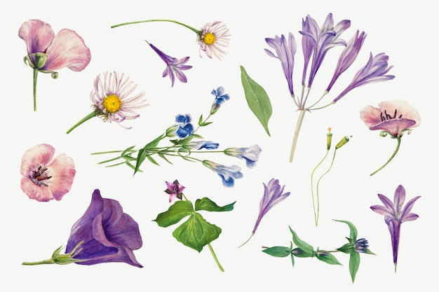 Conjunto dibujado a mano de ilustración de plantas silvestres moradas, remezclado de las obras de arte de mary vaux walcott