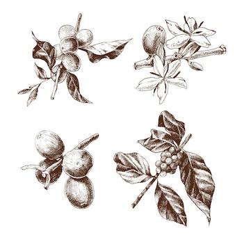 Conjunto dibujado a mano de rama de café con flores y granos de café