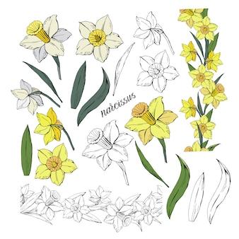 Conjunto de diferentes flores narciso y hojas, color y monocromo, ilustración de clip art dibujado a mano aislado