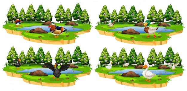 Conjunto de diferentes parques de patos.