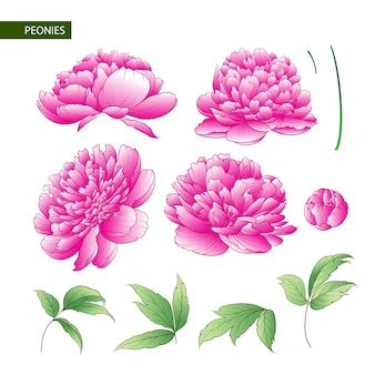 Conjunto de elementos de flores de peonía.