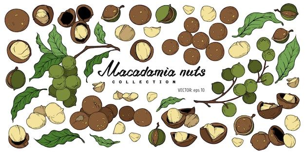Conjunto de elementos nueces de macadamia.