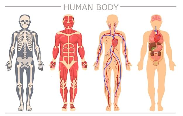 Conjunto de estructura del cuerpo humano
