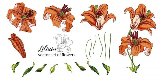 Conjunto de flores y capullos de lirios. lirio naranja