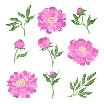 Conjunto de flores y hojas de peonías desde diferentes ángulos.