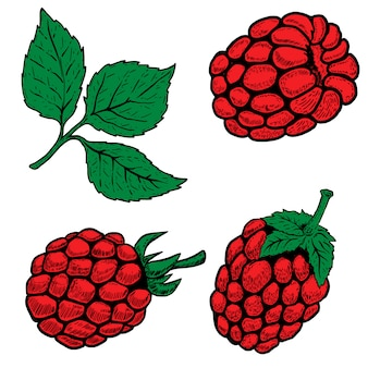 Conjunto de frambuesas dibujadas a mano sobre fondo blanco. elementos para logotipo, etiqueta, emblema, signo, menú, póster. ilustración