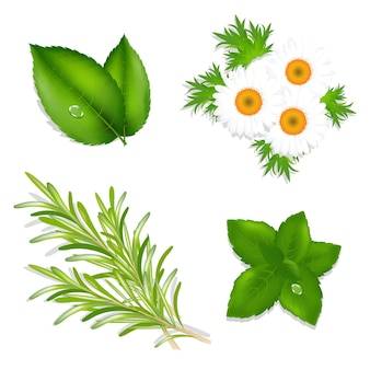 Conjunto de hierbas aromáticas de menta, manzanilla, romero y hojas de té aisladas
