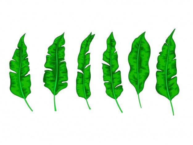 Conjunto de hojas de palma de plátano