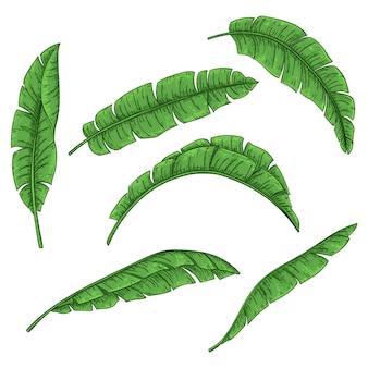 Conjunto de hojas de palmera tropical, colección de hojas de plátano de selva.