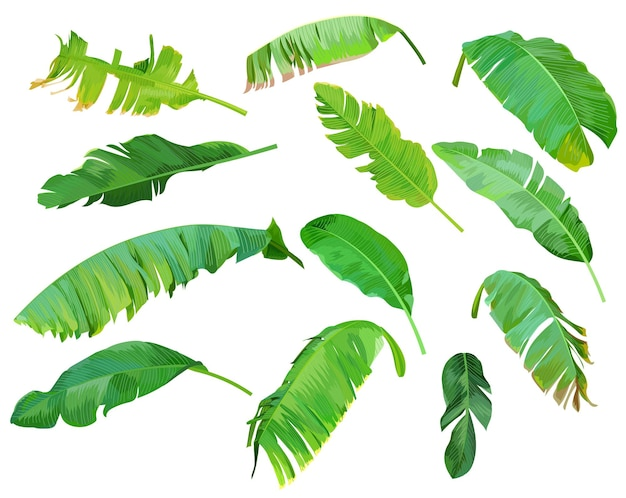 Conjunto de hojas de plátano