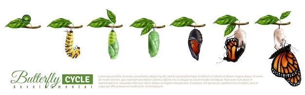 Conjunto horizontal de metamorfosis de mariposa