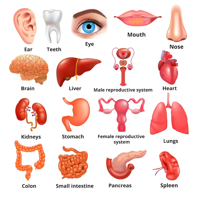 Conjunto de iconos realistas de grandes órganos internos de vector