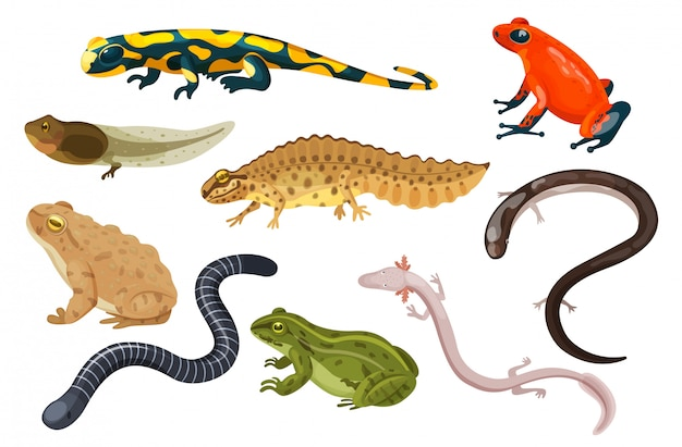 Conjunto de ilustración de anfibios, dibujos animados exóticos tropicales sentado sapo y rana renacuajo, salamandra, tritón iconos aislados en blanco