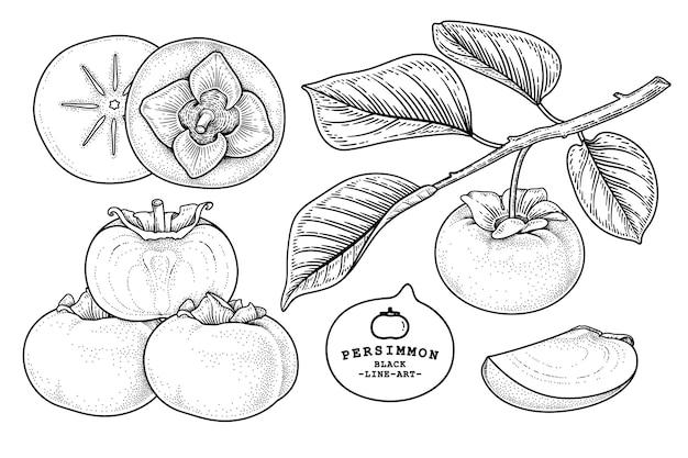 Conjunto de ilustración botánica de elementos dibujados a mano de fruta de caqui fuyu