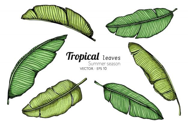 Conjunto de ilustración de dibujo de hoja de plátano con arte lineal sobre fondos blancos.