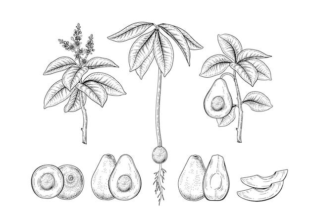 Conjunto de ilustraciones botánicas decorativas dibujadas a mano de fruta de aguacate