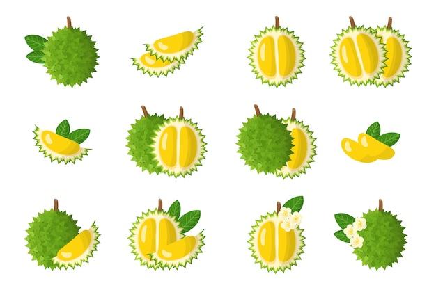 Conjunto de ilustraciones de dibujos animados con frutas exóticas durian, flores y hojas aisladas sobre fondo blanco