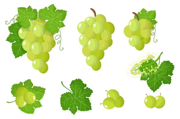 Conjunto de ilustraciones con frutas exóticas de uva blanca, flores y hojas aisladas