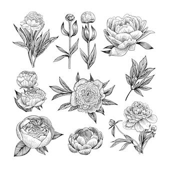 Conjunto de ilustraciones grabadas de peonía