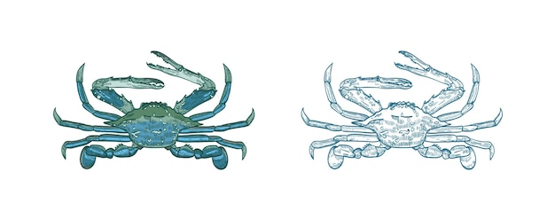 Conjunto de ilustraciones vectoriales de cangrejo azul océano.