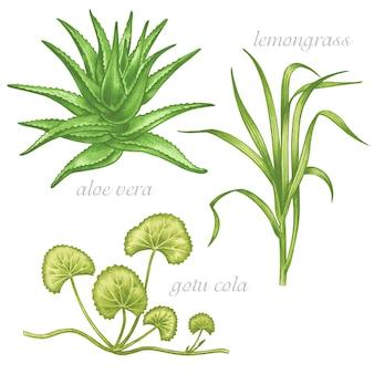 Conjunto de imágenes de plantas medicinales. los aditivos biológicos son. estilo de vida saludable. aloe vera, limoncillo, gotu cola.