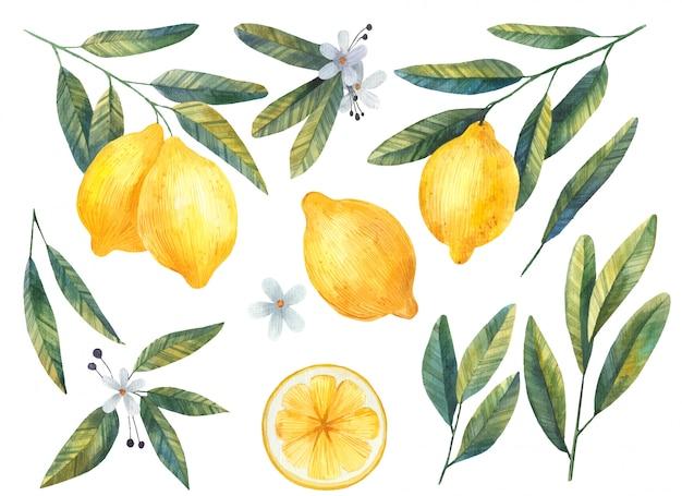 Conjunto de limones con hojas y flores ilustración acuarela sobre fondo blanco.