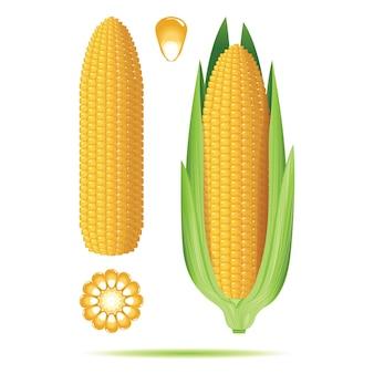 Conjunto de mazorcas de maíz maduras aisladas en el fondo blanco.