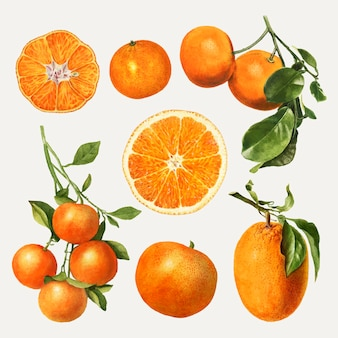 Conjunto de naranjas frescas naturales dibujadas a mano