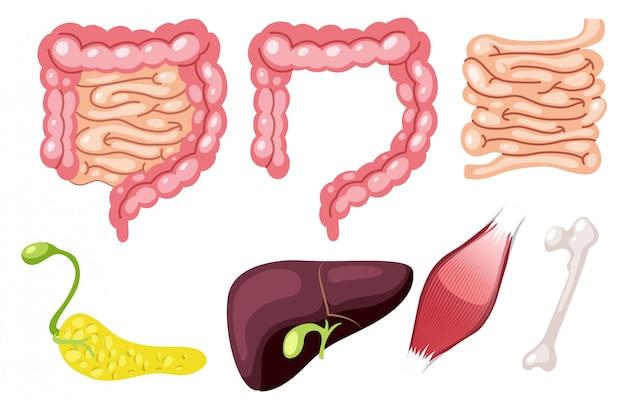 Un conjunto de órgano humano