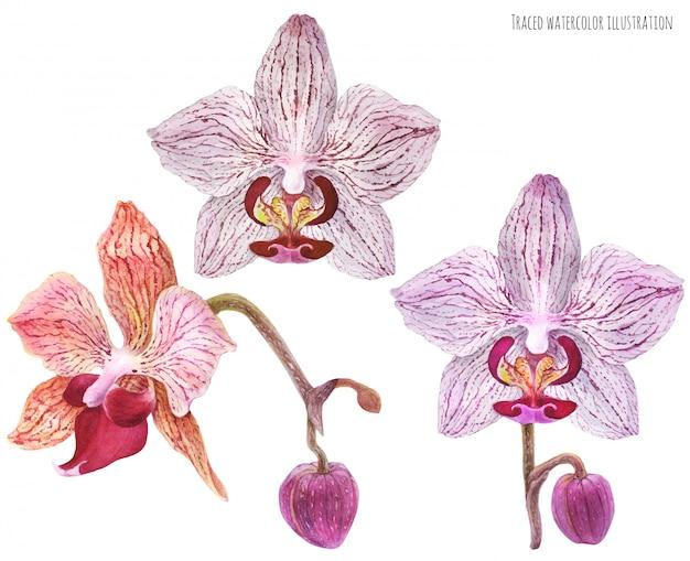 Conjunto de orquídeas phalaenopsis