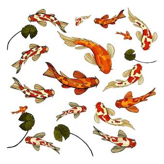 Conjunto de peces koi carpa de japón