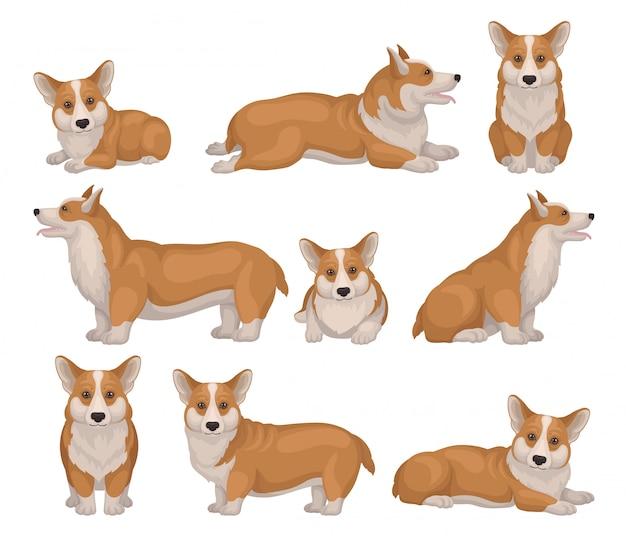 Conjunto de perro corgi galés en diferentes poses. cachorro con patas cortas y pelaje rojo. linda mascota casera iconos detallados