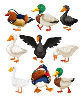 Conjunto de personajes de pato.